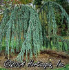 Cedrus Atlantica (Weeping Blue Atlas Cedar)