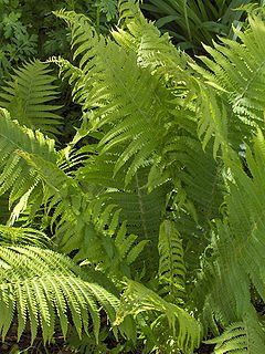 Fern Wood Fern Dryopteris species (Wood Fern)
