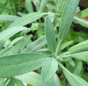 Herb Sage Salvia officinalis (Sage Herb)