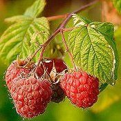 BR Rubus Amity ideaus (Amity Red Raspberry)