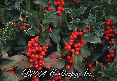 Ilex x meserveae (Blue Princess Holly)