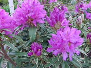 Rhododendron (Pioneer Silvery Pink)