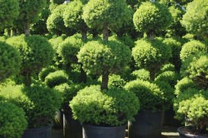 Picea Glauca Conica Klupengers Nursery