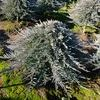 Juniperus horizontalis 'Blue Chip Tree'
