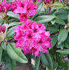 Rhododendron 'Marie Fortie'