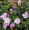 Rhododendron 'President Lincoln'