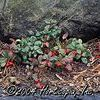 Gaultheria procumbens 'Wintergreen'