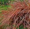 GR Carex flagilifera 'Copperleaf'