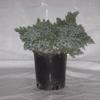 Specials: #1 Juniper 'Blue Star'