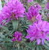 Rhododendron 'Pioneer Slivery Pink'